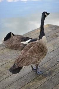 standing goose (1)